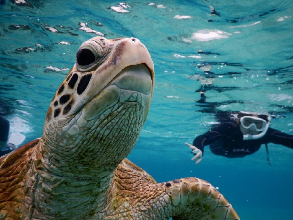 宮古島のウミガメさん泳ごうよ