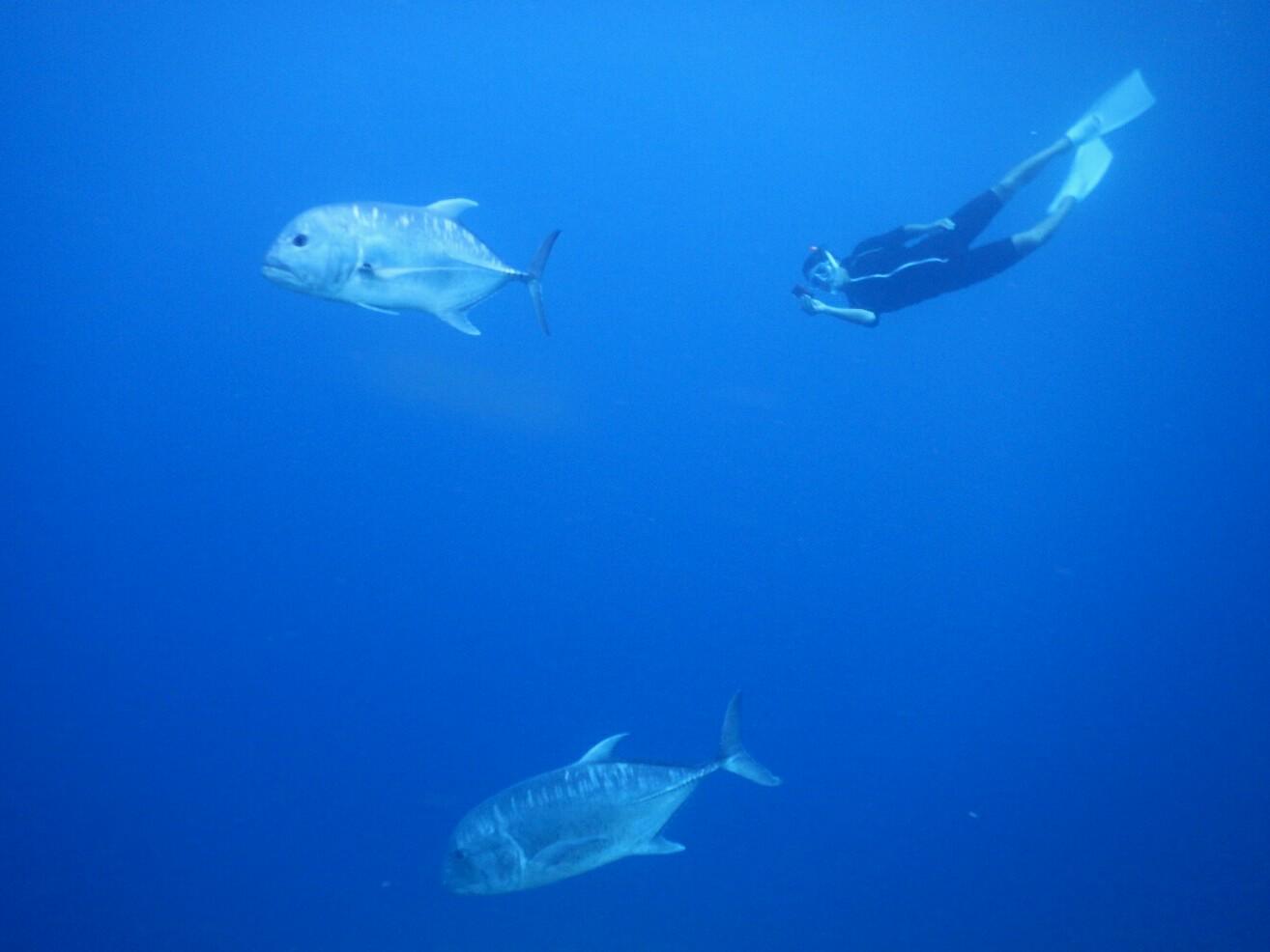 ウミガメではなくロウニンアジと泳ぐ