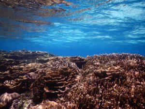 琉球菊花珊瑚もウミガメもどっちも